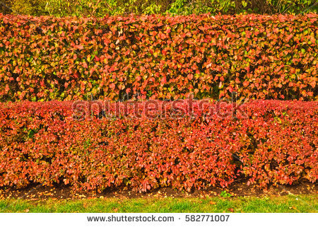 Cotoneaster Stock Images, Royalty.