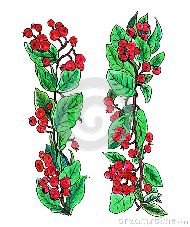 Cotoneaster Watercolor Painting Stock Photo.