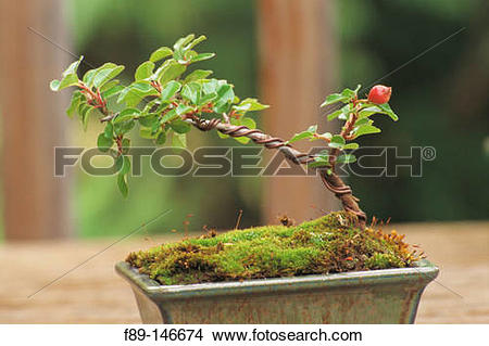 Stock Photo of Cotoneaster ?Skogholm? bonsai f89.