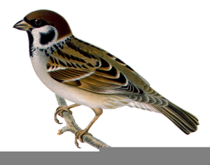 Sparrow Clipart Free.