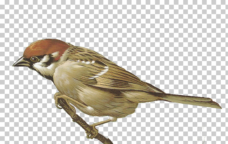 House Sparrow , sparrow PNG clipart.