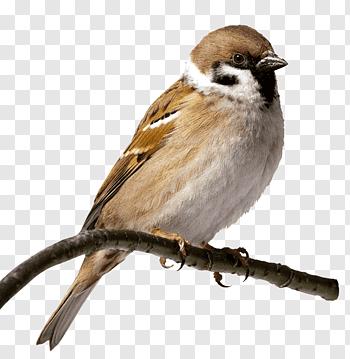 House Sparrow cutout PNG & clipart images.