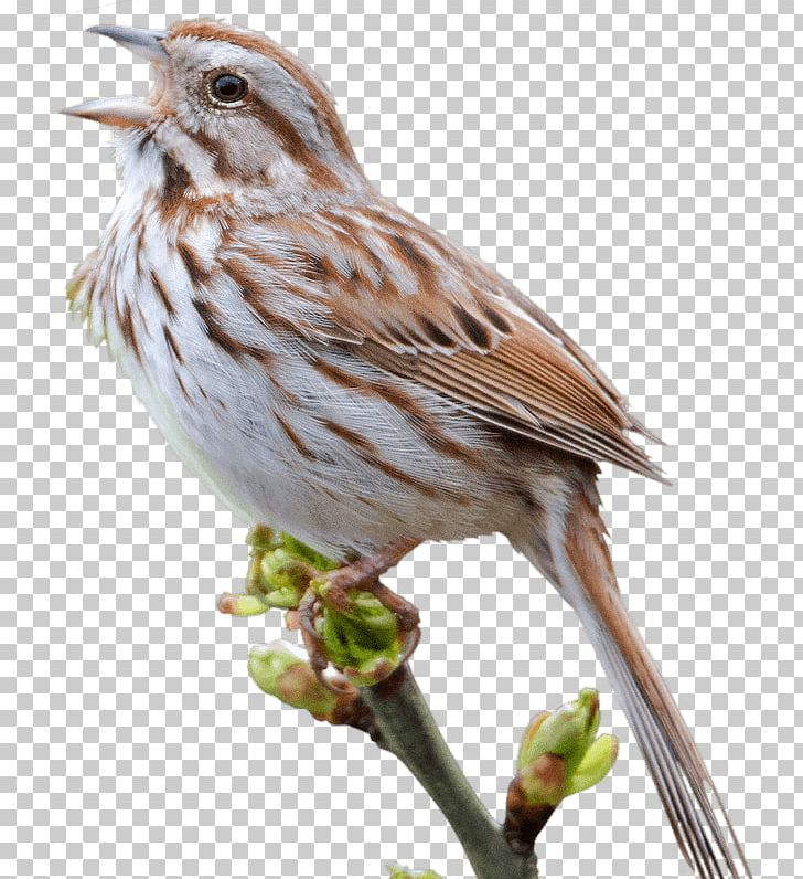 Sparrow PNG, Clipart, Sparrow Free PNG Download.