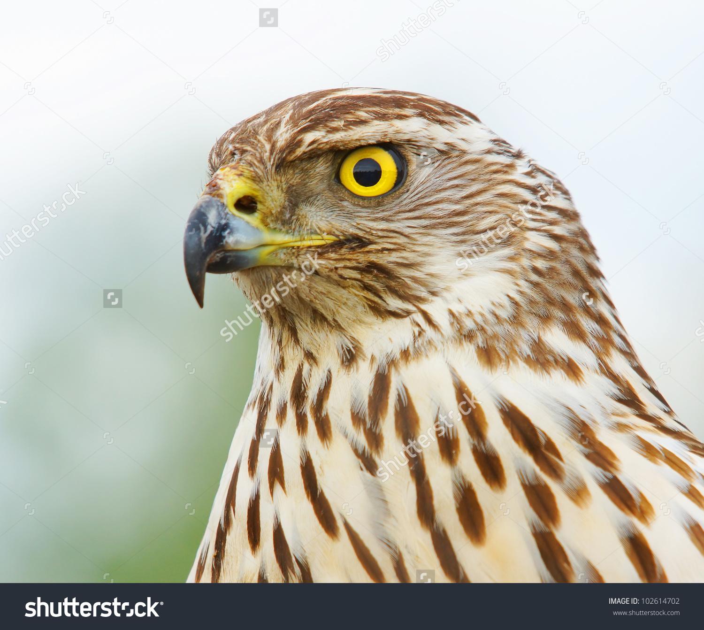 Northern Goshawk Eurasian Sparrowhawk Stock Photo 102614702.