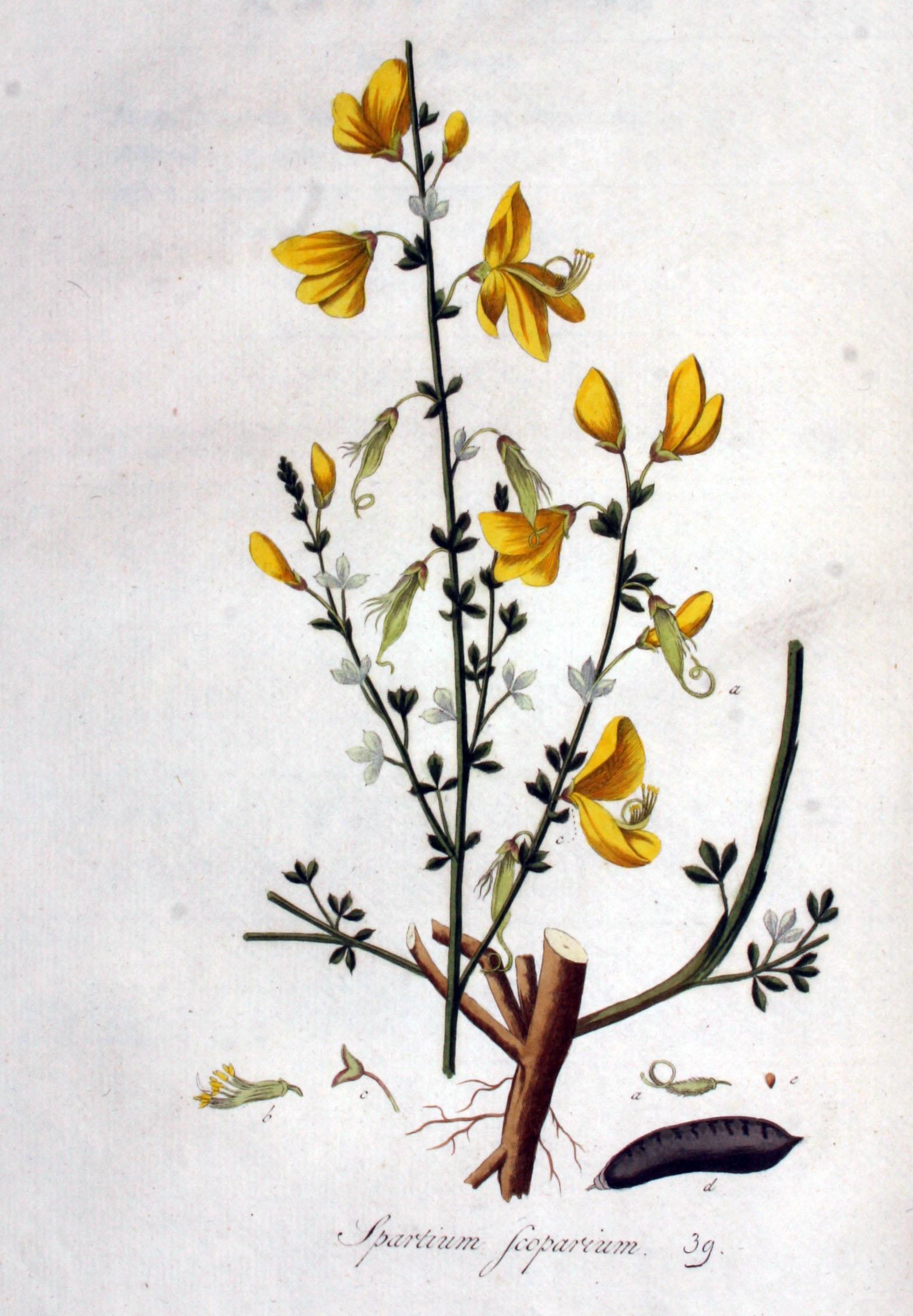 File:Spartium scoparium — Flora Batava — Volume v1.jpg.