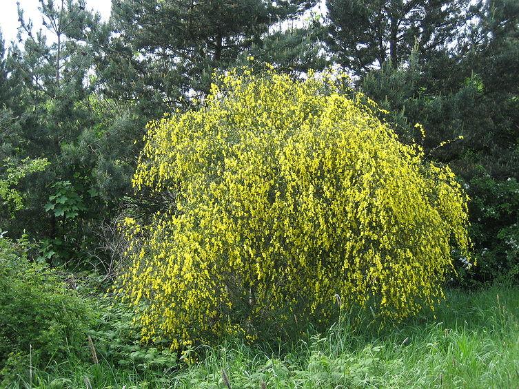 Cytisus scoparius (Scotch broom) (Spartium scoparium).