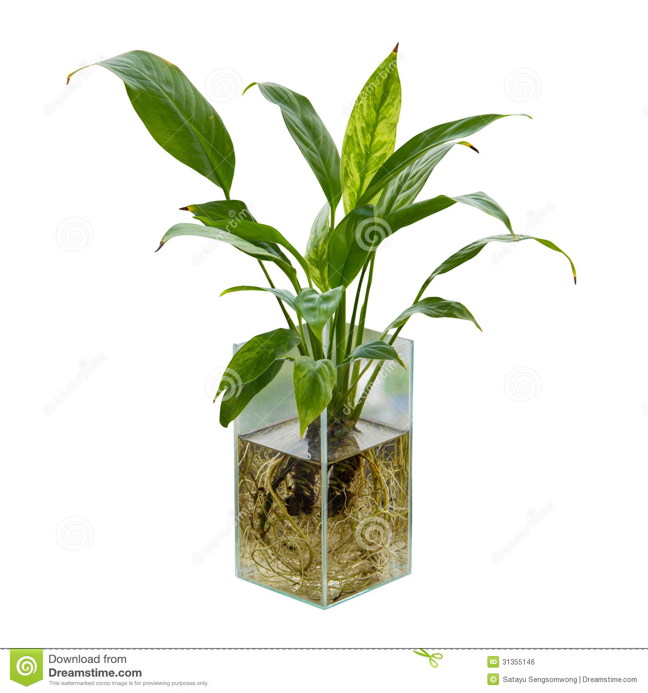 Spathiphyllum Or Peace Lily Royalty Free Stock Image.