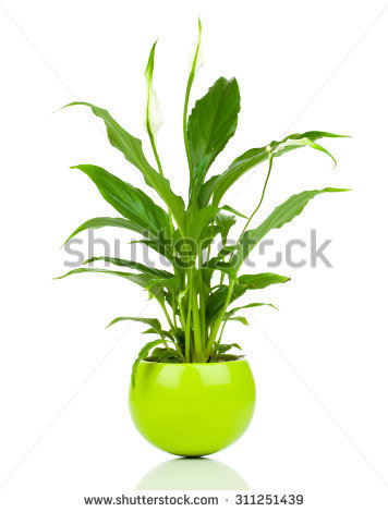 Spathiphyllum Stock Photos, Royalty.