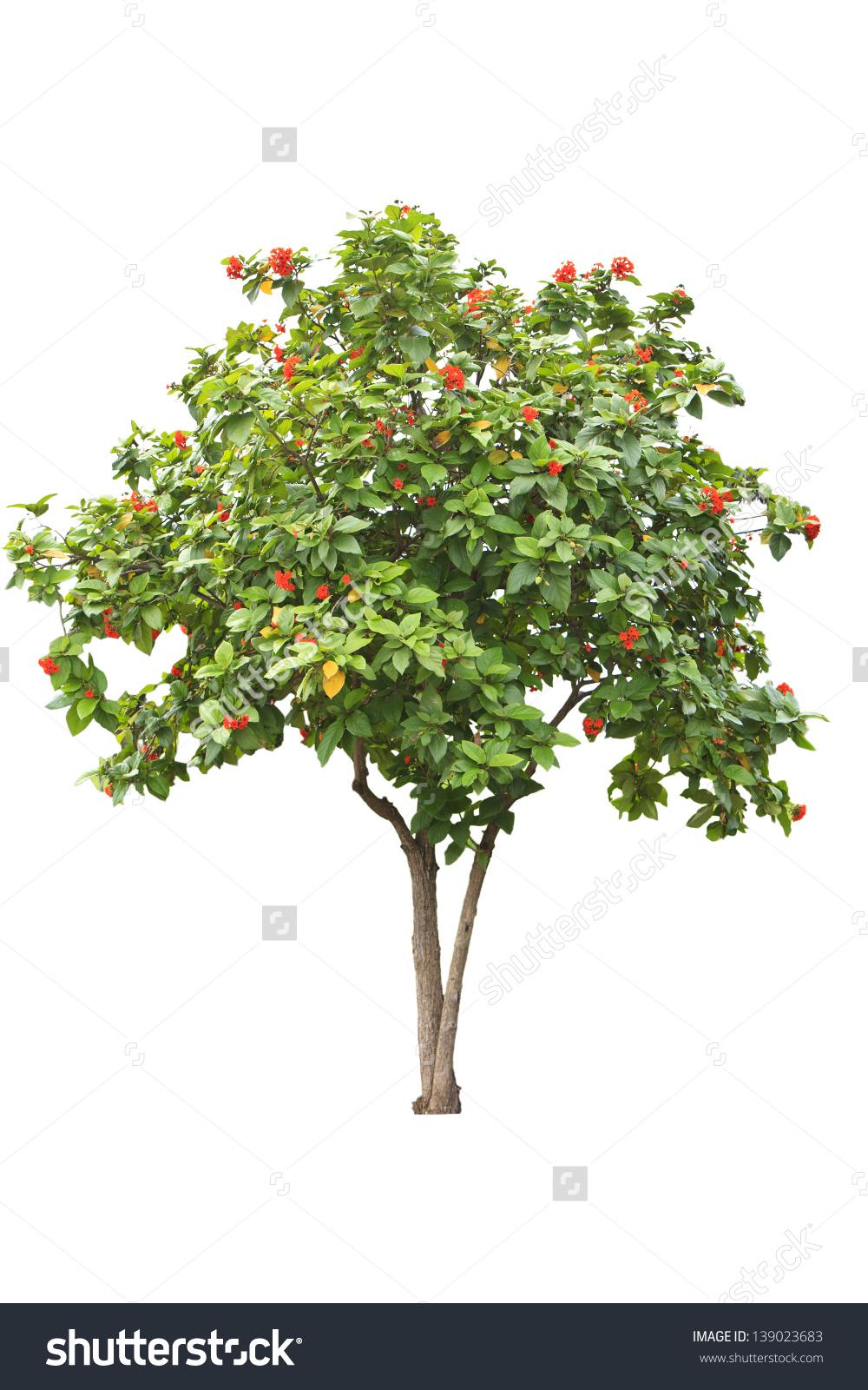 African Tulip Tree Spathodea Campanulata On Stock Photo 139023683.