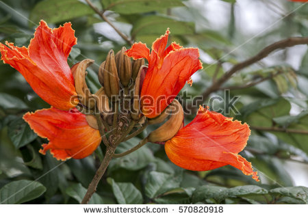 Spathodea Campanulata Lizenzfreie Bilder und Vektorgrafiken kaufen.
