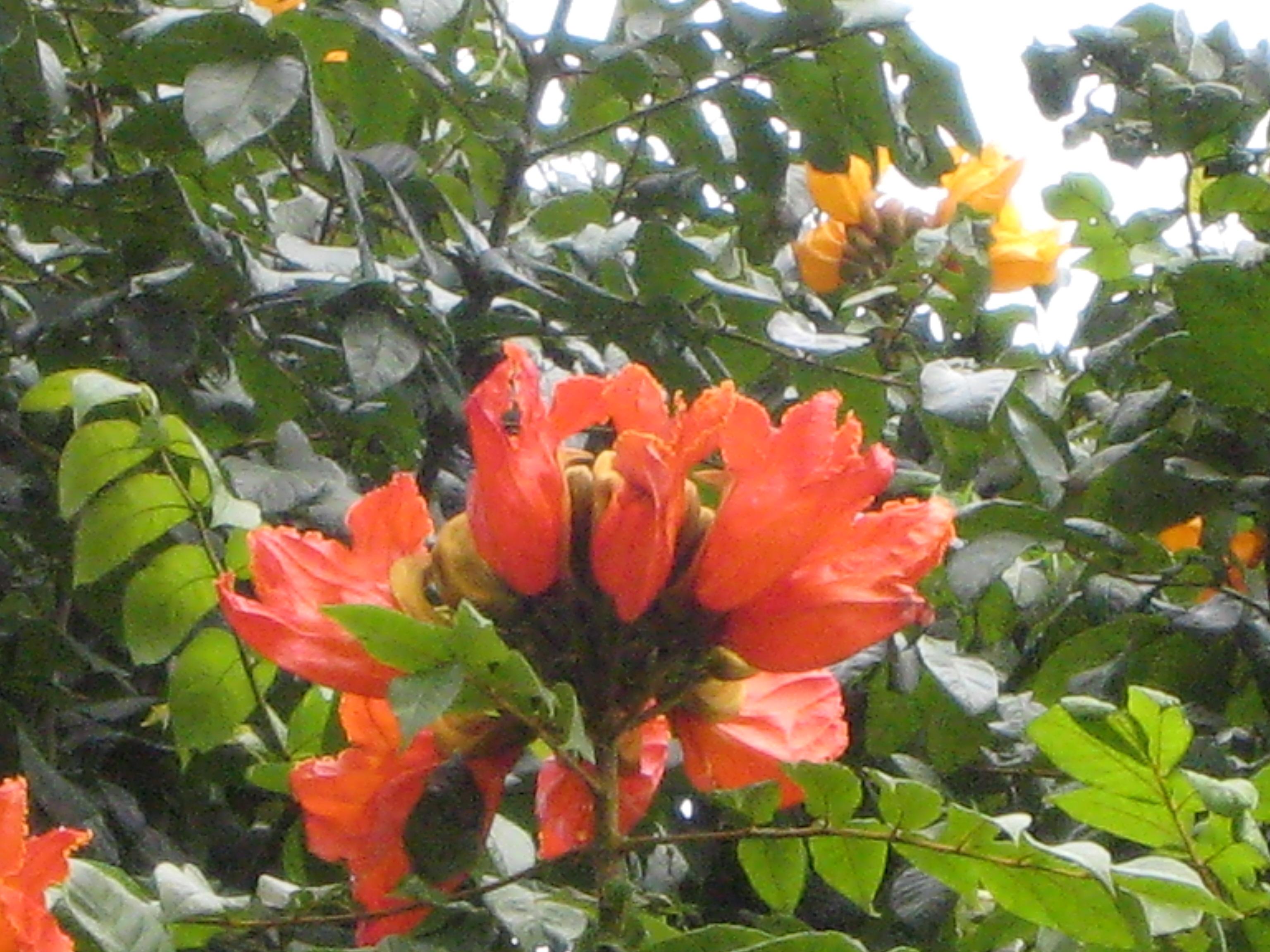 Tulip Tree.