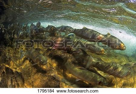 Stock Photo of Spawning Cutthroat Trout 1795184.