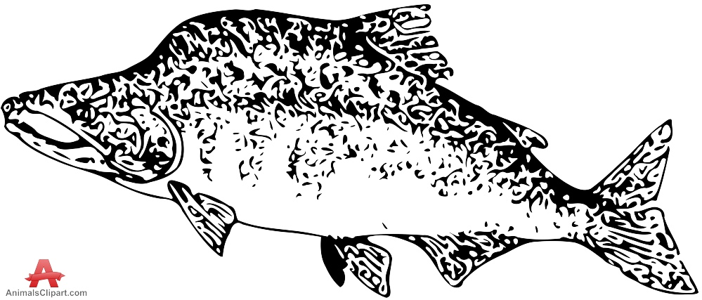 Spawning Pink Salmon Clipart Drawing.