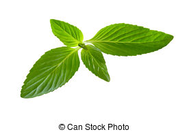 Spearmint Stock Photo Images. 10,127 Spearmint royalty free images.