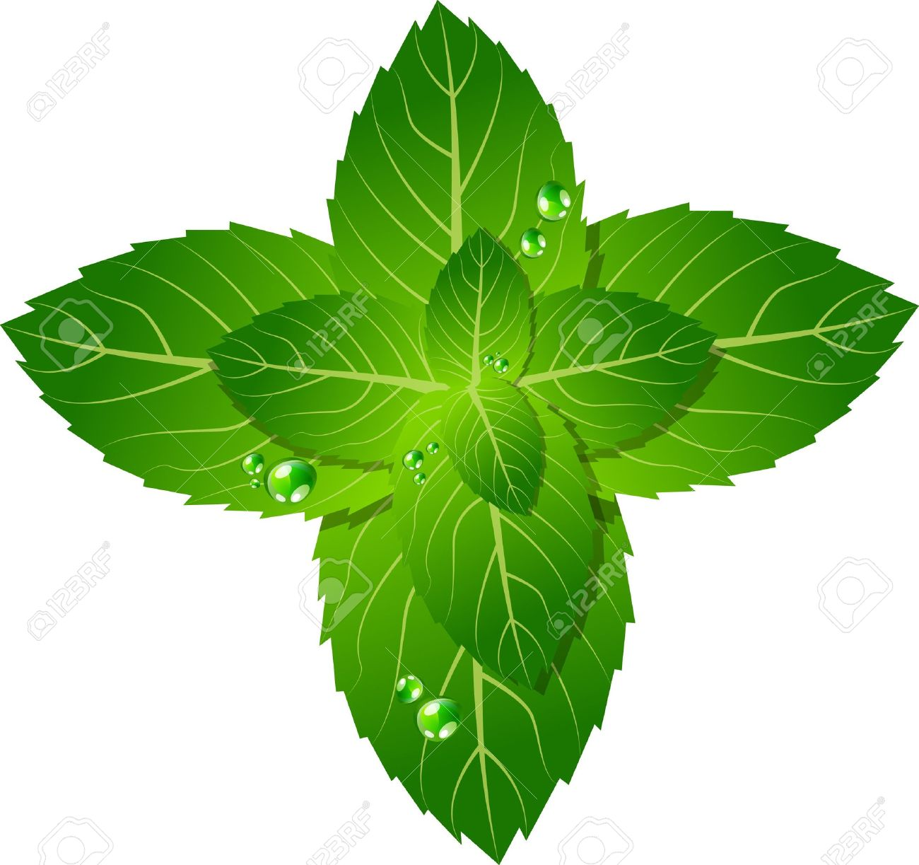 Picture Of Mint Leaf Royalty Free Cliparts, Vectors, And Stock.