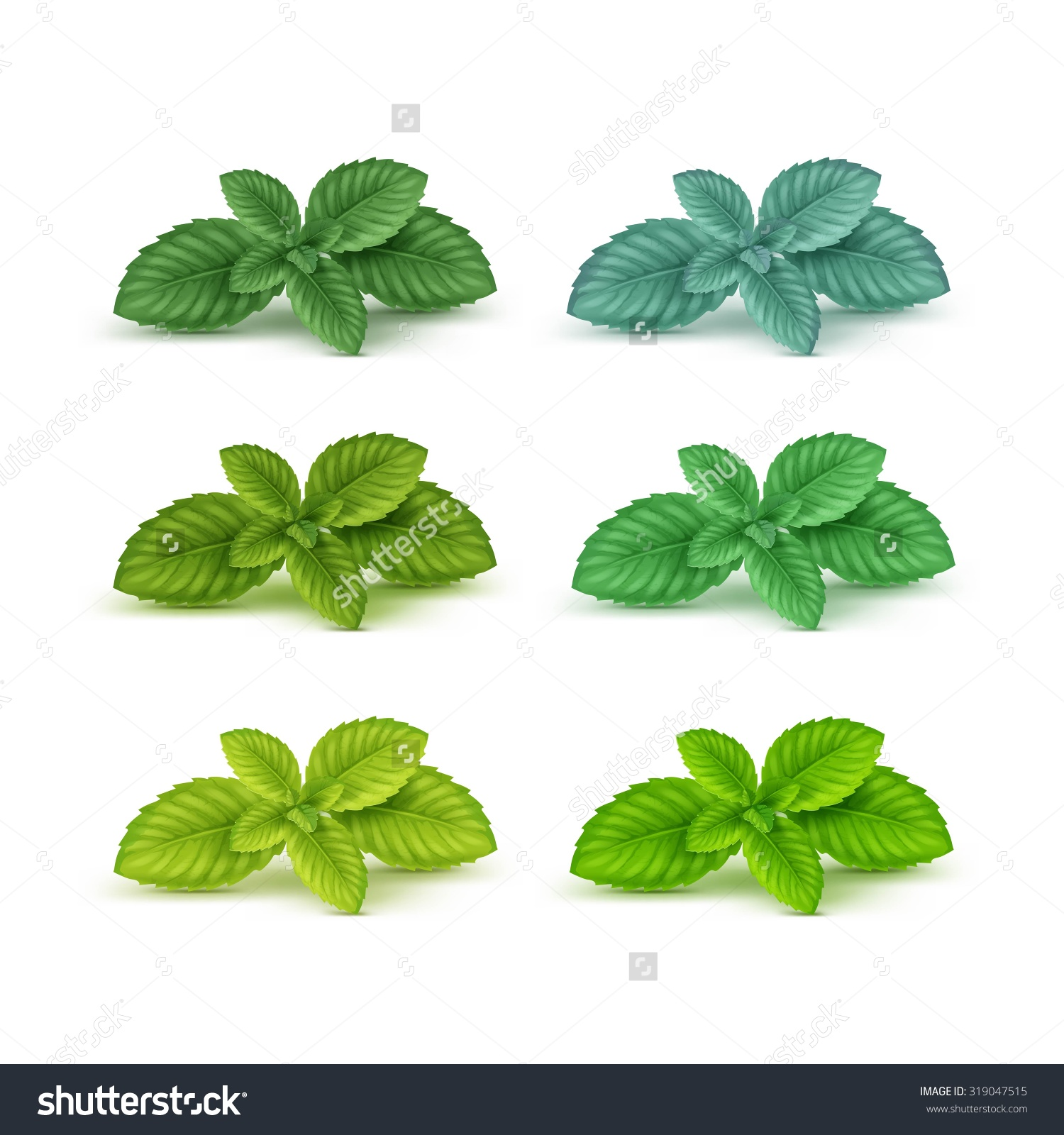 Vector Mint Spearmint Peppermint Leaf Leaves Stock Vector.