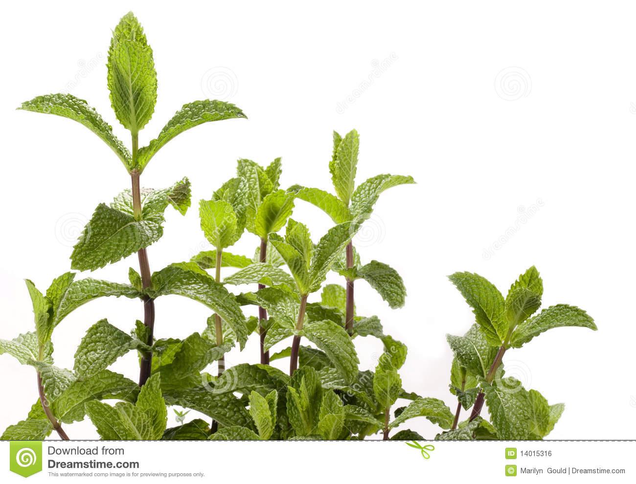 Mint Plant.