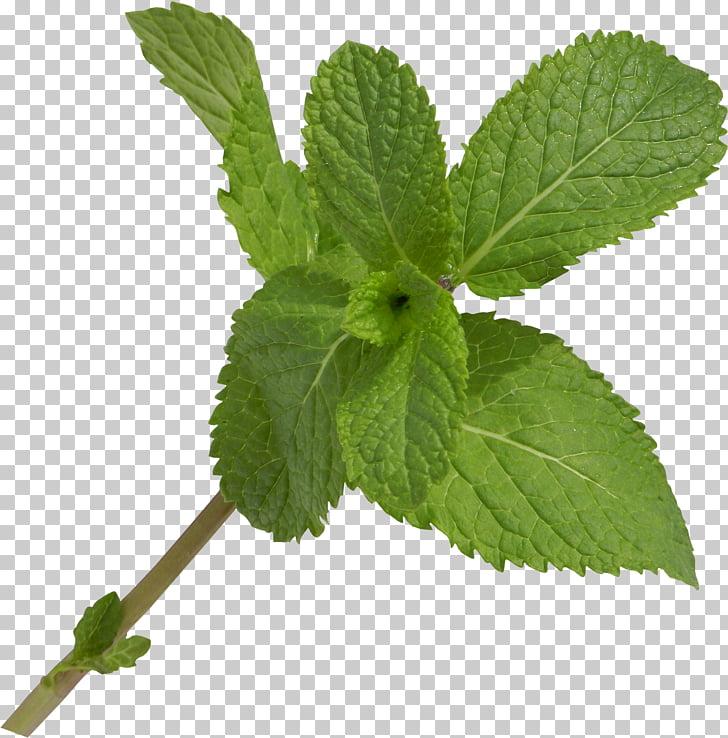 Leaf Herb Branch , Leaf PNG clipart.