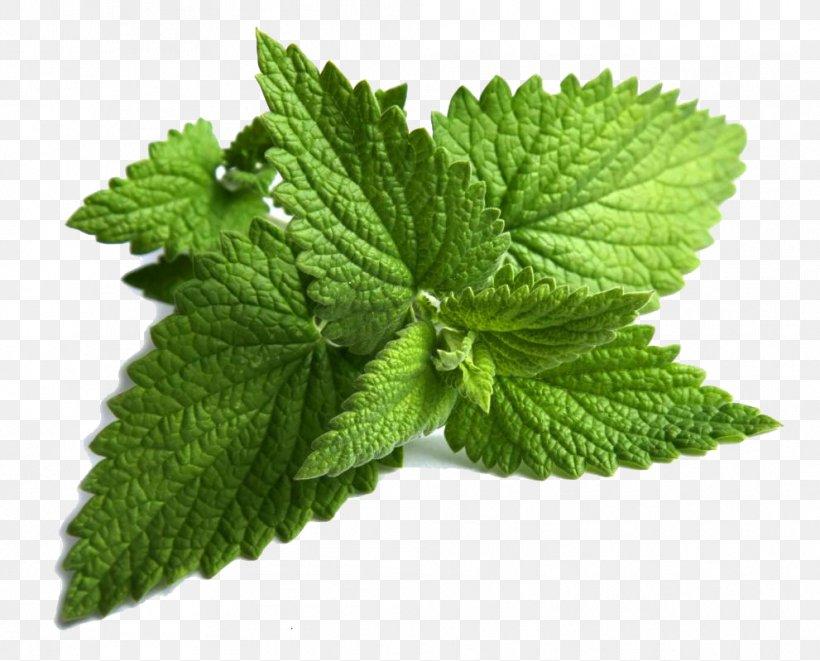 Mentha Spicata Peppermint Maghrebi Mint Tea Mentha.