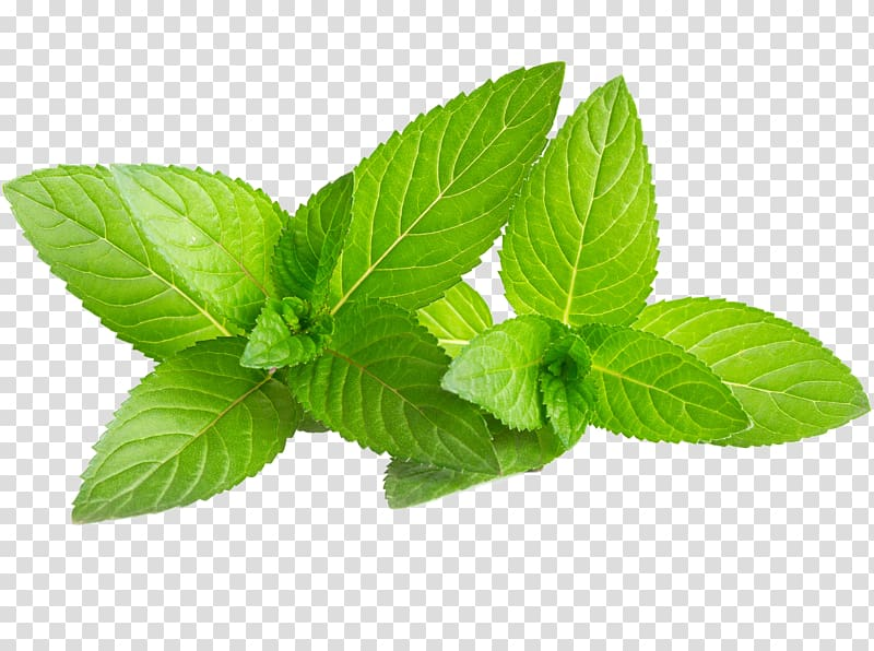 Two spearmint leaves, Mojito Water Mint Mentha spicata Green.