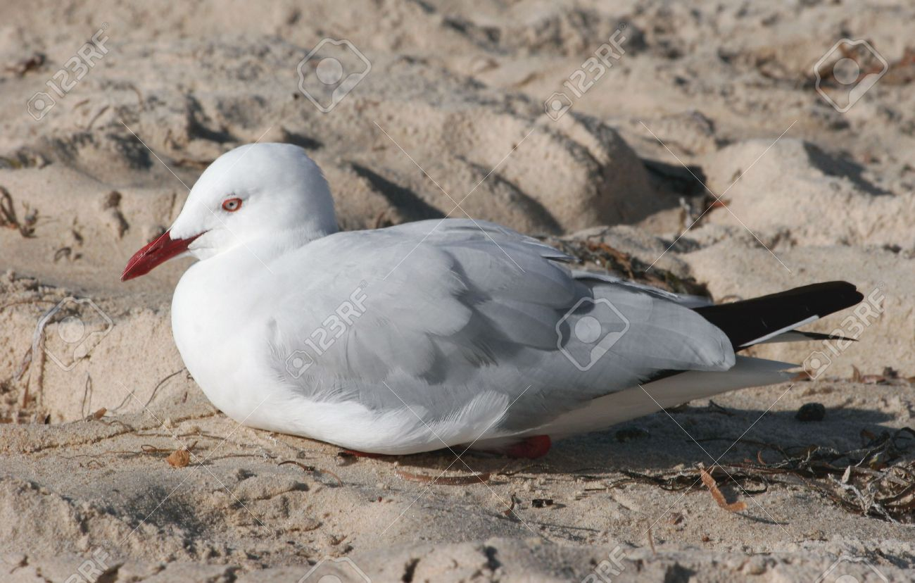 Gulls Are Birds In The Laridae. Most Gulls, Particularly Larus.