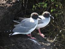 Seagull Or Gull (Family: Laridae) Stock Photo.