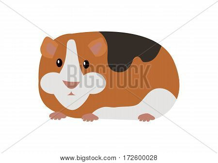 Guinea pig cavia porcellus. Cavy or domestic guinea pig, species.