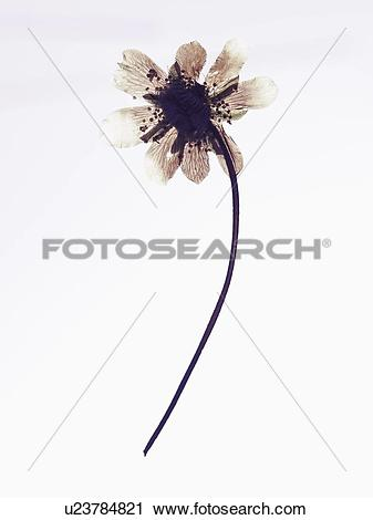 Stock Photography of Close up of dried flower specimen u23784821.