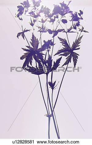 Stock Photography of Close up of dried plant specimen u12828581.