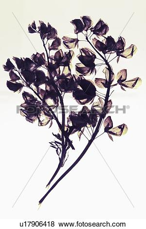 Pictures of Close up of dried flower specimen u17906418.