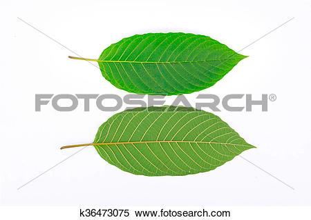 Stock Image of Kratom leaf (Mitragyna speciosa) k36473075.