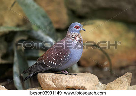 """Stock Photograph of """"Speckled Pigeon (Columba guinea), adult on."""