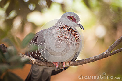 Speckled Pigeon Stock Photo.