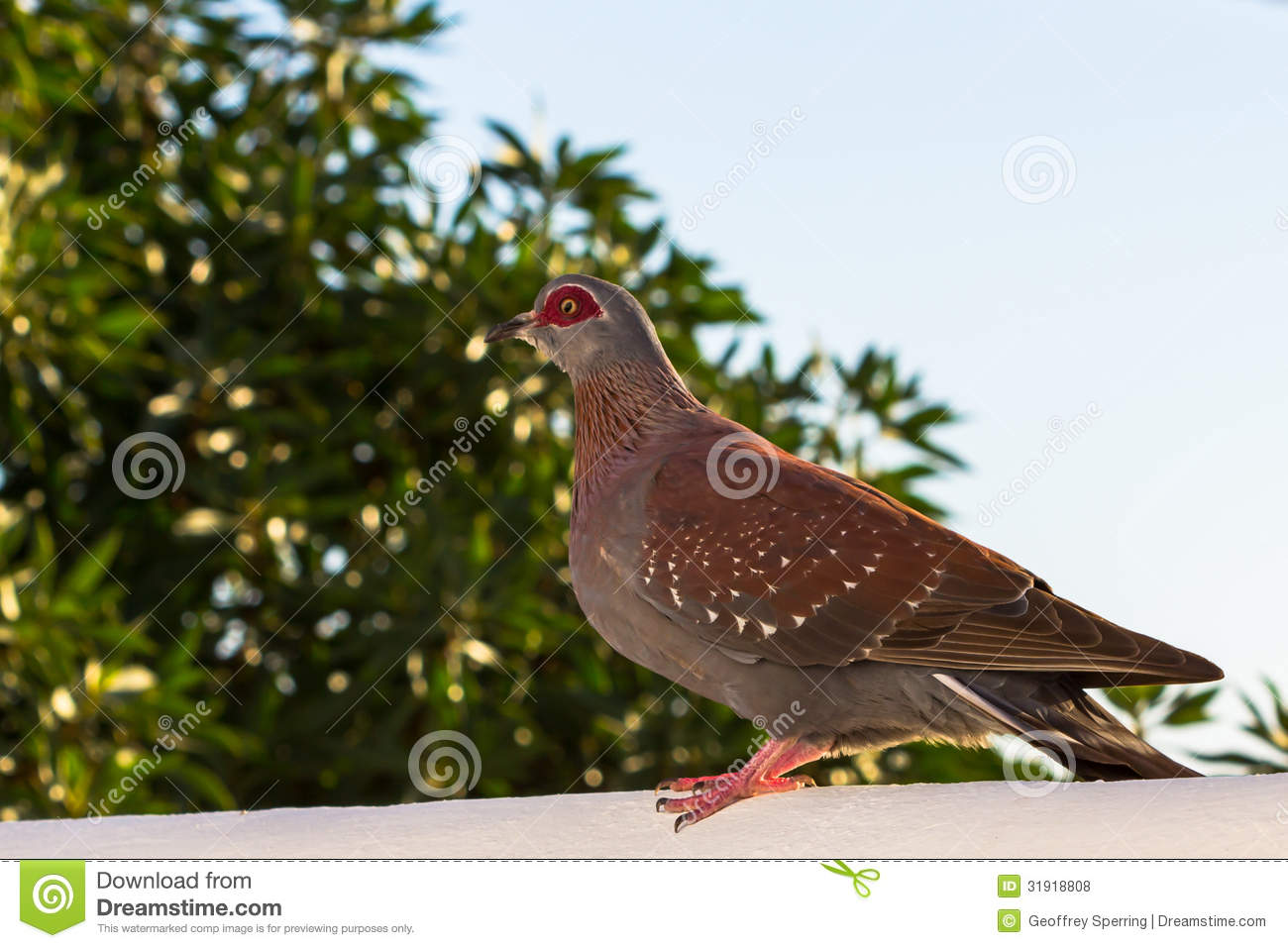 Speckled Pigeon Stock Photos, Images, & Pictures.