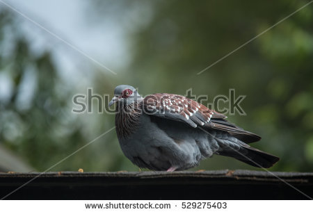 """""""speckled Pigeon"""" Stock Photos, Royalty."""