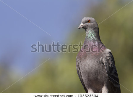 Speckled Pigeon Stock Photos, Royalty.