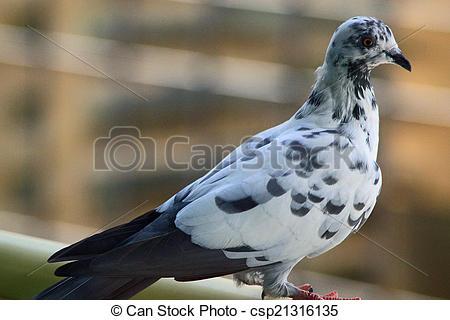 Stock Photos of White pigeon.