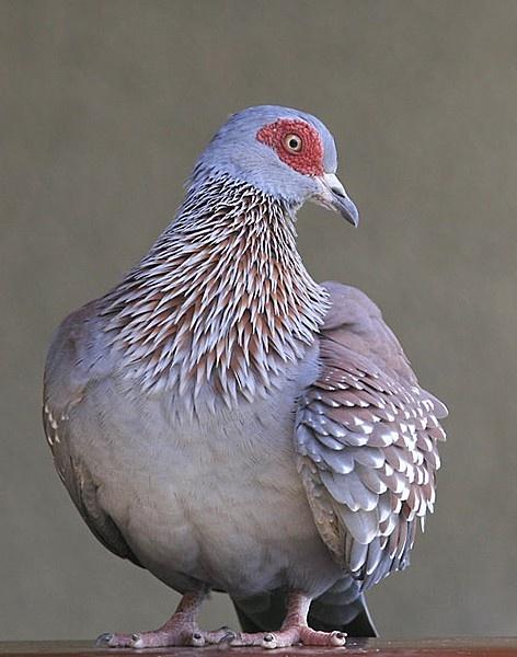 1000+ ideas about Pigeon Bird on Pinterest.