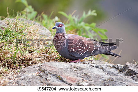 Stock Photo of Speckled pigeon sitting on a rock k9547204.