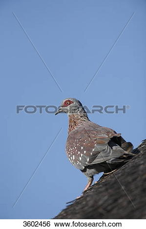 Stock Images of Speckled Pigeon (Columba guinea) on thatched roof.