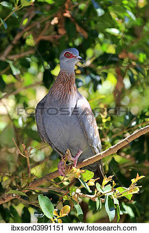 """Stock Photography of """"Speckled Pigeon (Columba guinea), adult on."""