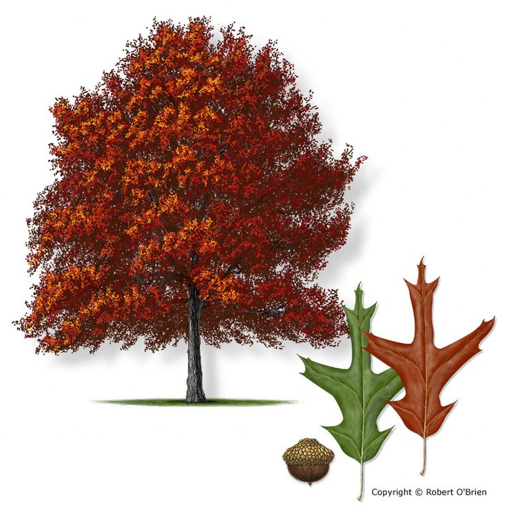 1000+ images about Oaks and Acorns on Pinterest.