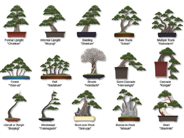 1000+ ideas about Bonsai Tree Types on Pinterest.