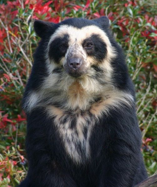 1000+ ideas about Spectacled Bear on Pinterest.