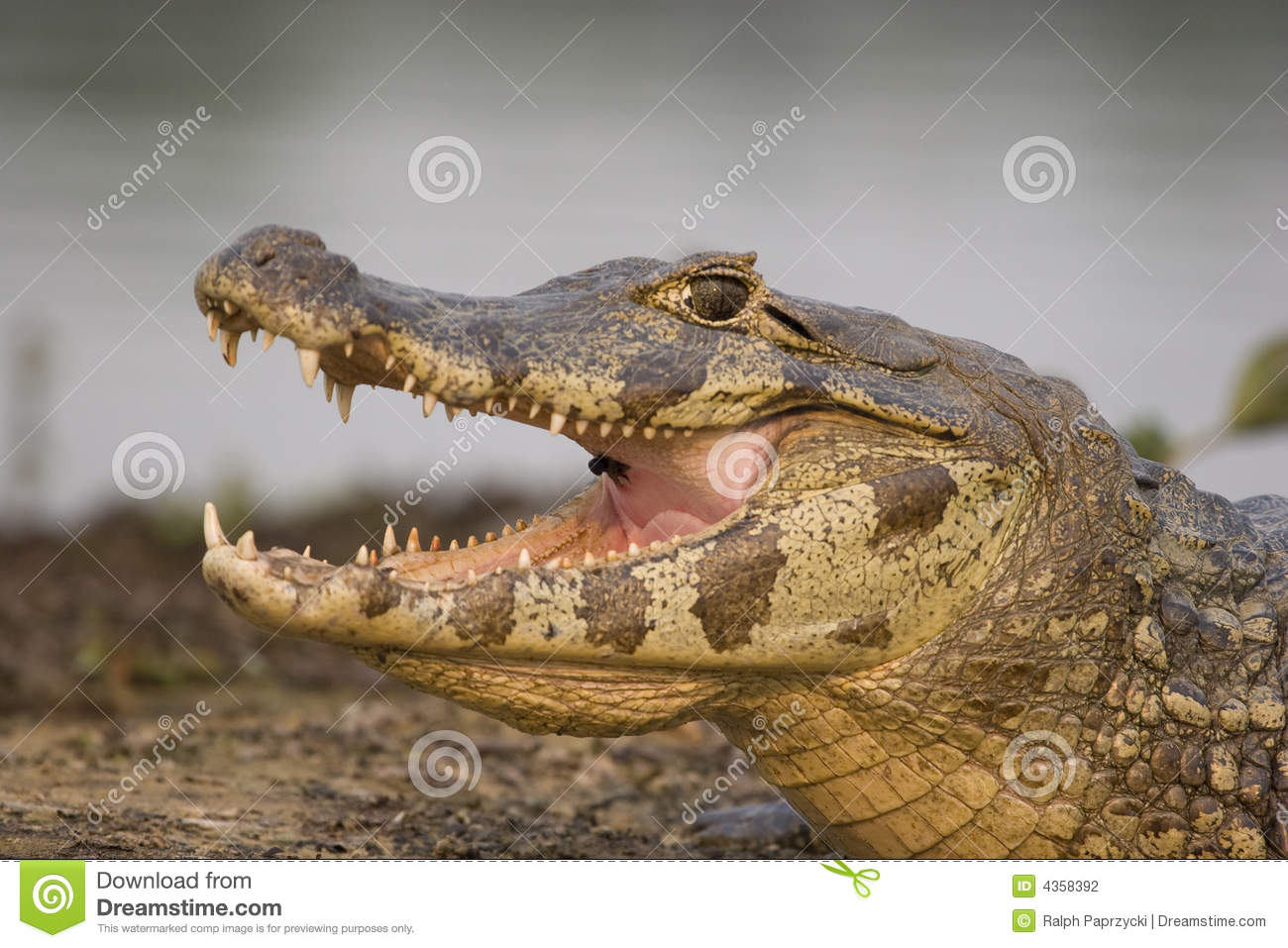 Spectacled Caiman, Pantanal Royalty Free Stock Images.
