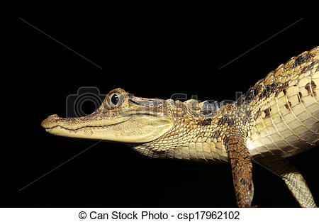 Stock Photography of Observing young spectacled caiman.