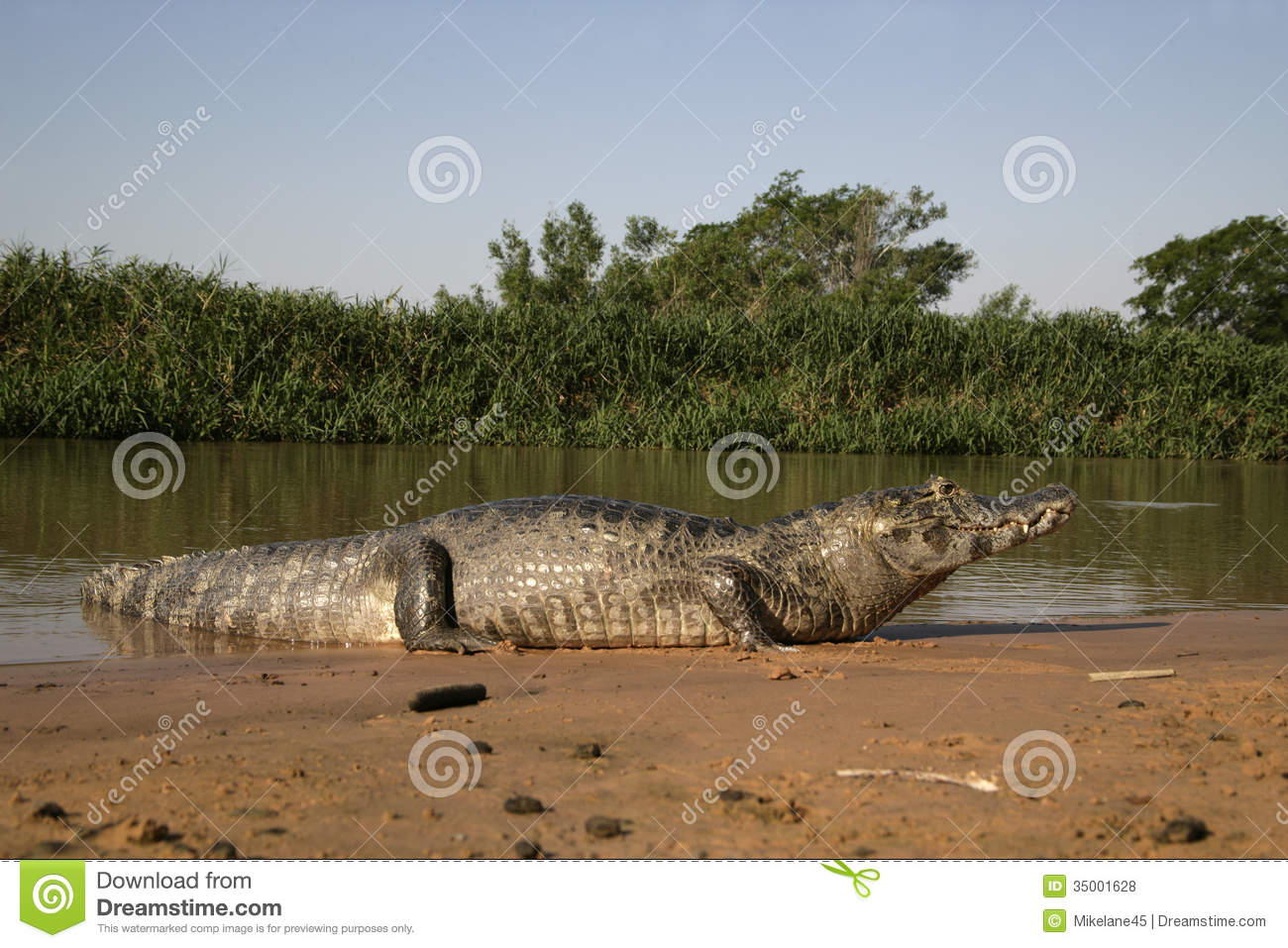 Spectacled Caiman, Caiman Crocodilus Royalty Free Stock Photos.