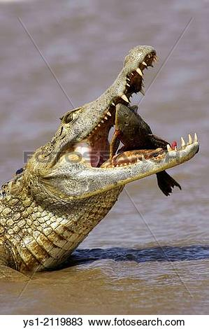 Stock Photo of Spectacled Caiman, caiman crocodilus, Catching Fish.
