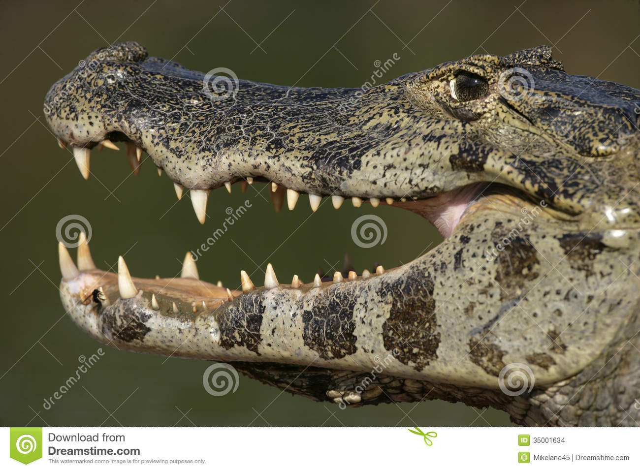 Spectacled Caiman, Caiman Crocodilus Stock Images.