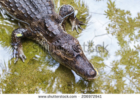 Spectacled Caiman Stock Photos, Royalty.